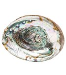 Shamans Market Abalone Shell